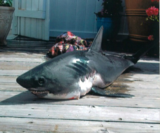0176afd301b1 This is a juvenile Salmon Shark (Lamna ditropis)