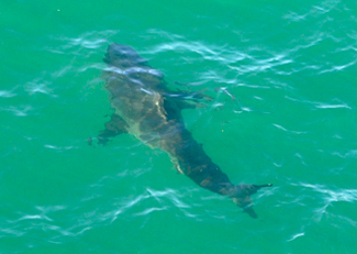 Pacific coast shark news for Pacifica pier fishing report